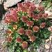weitere farbenprächtige Alpenflora 5a ...