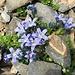 weitere farbenprächtige Alpenflora 4 (mit unbekannten zarten Blümchen)