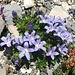 weitere farbenprächtige Alpenflora 6a ...