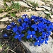 weitere farbenprächtige Alpenflora 3 - mit Besucher