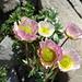weitere farbenprächtige Alpenflora 7