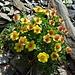 weitere farbenprächtige Alpenflora 8 (im Übergangsstadium)