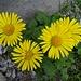 ... mit weiterer farbenprächtiger Alpenflora 9 ...