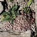 Im Aufstieg zum Monte Gorzano - Zwischen den verwitternden Felsplatten sind verschiedene Pflanzen zu finden, u. a. Hauswurz.