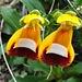 Calceolaria Uniflora (Capachitos)