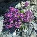attraktives Blumenpolster in steiniger Umgebung 1