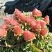 schmucke Blumen in der Gipfelregion 1