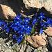 schmucke Blumen in der Gipfelregion 2