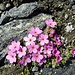 attraktives Blumenpolster in steiniger Umgebung 2