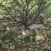 eine Eibe wächst aus dem Jurafels