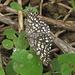 ein kleiner Schmetterling - kennt ihn jemand?