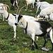 nach P. 1638, auf Vehsattel, schliesst sich uns eine grosse Herde schöner Geissen an ...