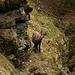 Rückweg von der Roten Platte: Wer ist hier wohl mehr erschreckt? Der Mungg oder der Steinbock? ;-)