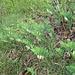Echtes Salomonssiegel (Polygonatum odoratum) am Lägeren