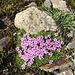 Blumenschönheit in Bodennähe