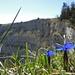 Frühlingsenziane am Kraterrand