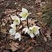 Helleborus niger L.<br />Ranunculaceae<br /><br />Elleboro bianco, Rosa di Natale<br />Rose de Noel<br />Christrose, Schneerose
