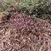 Erica carnea L.<br />Ericaceae<br /><br />Erica carnicina, Scopina<br />Bruyère carnée<br />Schneeheide, Erika