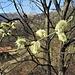 Salix caprea L.<br />Salicaceae<br /><br />Salicone, Salice delle capre<br />Saule marsault, Saule des chèvres<br />Sal-Weide