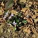 Viola canina L.<br />Violaceae<br /><br />Viola selvatica<br />Violette des chiens, Violette des landes<br />Hunds-Veilchen<br />