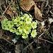 Primula acaulis (L.) L.<br />Primulaceae<br /><br />Primula comune<br />Primèvere acaule<br />Stängellose Schlüsselblume, Schaftlose Primel<br /><br />