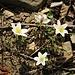 Anemone nemorosa L.<br />Ranunculaceae<br /><br />Anemone bianca<br />Anémone des bois, Anémone sylvie<br />Busch-Windröschen, Wald-Anemone