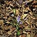 Scilla bifolia L.<br />Asparagaceae<br /><br />Scilla silvestre<br />Scille à deux feuilles<br />Zweiblättriger Blaustern, Zweiblättrige Meerzwiebel<br />