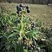 Hedera helix L.<br />Araliaceae<br /><br />Edera<br />Lierre<br />Efeu