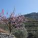 Mandelblüte Ende Februar/Anfang März
