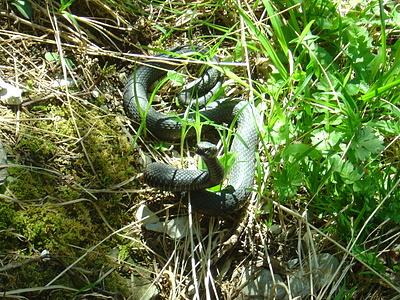 schon wieder eine Viper...diesmal ein giftig zischender und schnappender Schwärzling