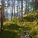 Schöner Kiefernwald beim Abstieg.