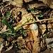 Leucojum vernum L.<br />Amaryllidaceae<br /><br />Campanelle comuni<br />Nivéole du printemps<br />Frühlings-Knotenblume, Märzen Glöckchen, Grosses Schneeglöckhen