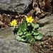 Ranunculus ficaria L.<br />Ranunculaceae<br /><br />Ranuncolo favagello<br />Ficaire<br />Scharbockskraut, Feigwurz