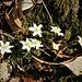 Anemone nemorosa L.<br />Ranunculaceae<br /><br />Anemone bianca<br />Anémone des bois, Anémone sylvie<br />Busch-Windröschen, Wald-Anemone<br />