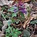 Corydalis solida (L.) Clairv.<br />Papaveraceae<br /><br />Colombina solida<br />Corydale à tubercule plein<br />Festknoliger Lerchensporn