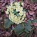 Primula acaulis (L.) L.<br />Primulaceae<br /><br />Primula comune, Primavera<br />Primèvere acaule<br />Stängellose Schlüsselblume, Schaftlose Primel