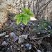 Helleborus foetidus L.<br />Ranunculaceae<br /><br />Elleboro puzzolente<br />Hellébore fétide<br />Stinkende Nieswurz<br />
