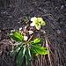 Helleborus foetidus L.<br />Ranunculaceae<br /><br />Elleboro puzzolente<br />Hellébore fétide<br />Stinkende Nieswurz