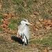 Graureiher (Ardea cinerea)