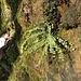 Braunstieliger Streifenfarn (Asplenium trichomanes)