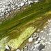 Schleimartige Algen im Flußbett