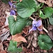 Viola odorata L.<br />Violaceae<br /><br />Viola mammola<br />Violette odorante<br />Wolriechendes Velichen