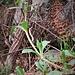 Saponaria ocymoides L.<br />Caryophillaceae<br /><br />Saponaria rossa<br />Saponaire rose<br />Rotes Seifenkraut<br />