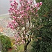 Una magnolia fiorita sovrasta Varallo.