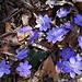 Bunte Frühlingstupfer: Leberblümchen