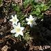 anémones sylvestres : le printemps est arrivé !