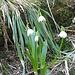 un beau bouquet sylvestre : perce- neige