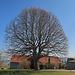ein schöner Baum oberhalb Heiden, so sieht der Baum im Sommer aus: [http://www.hikr.org/gallery/photo2744101.html?post_id=135880 Sommer]<br />