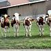 Parade der jungen Kühe