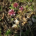 Daphne mezereum L.<br />Thymelaceae<br /><br />Dafne mezereo<br />Bois gentil<br />Ziland, Echter Seidelbast, Kellerhals